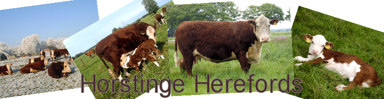 Horstinge Polled Herefords